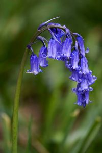 common blue bell